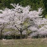 桜(朽木)