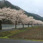 朽木の桜2015