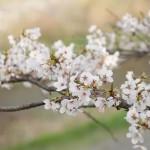 桜(洛西)